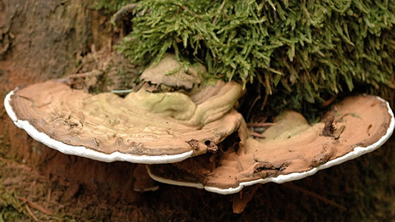 Ganoderma Herb