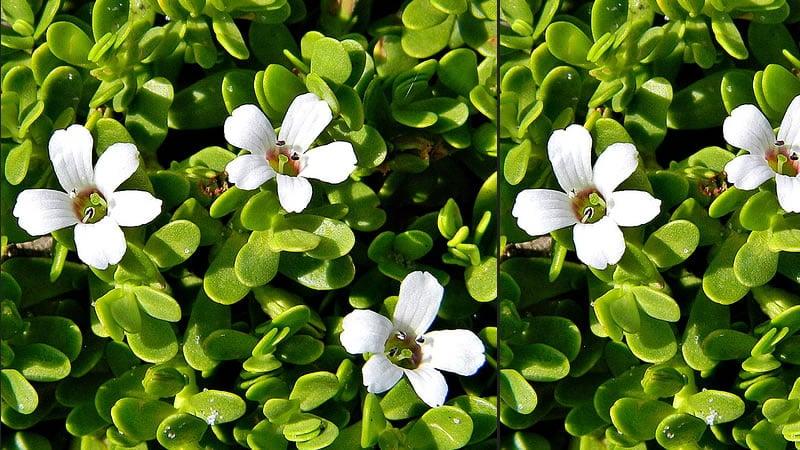 Bacopa Herb